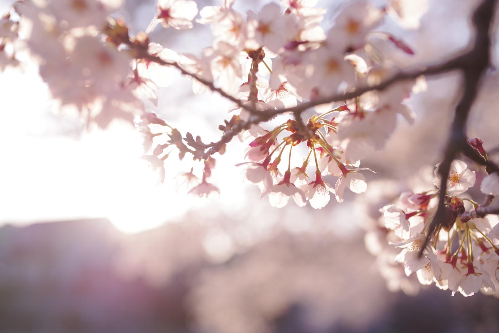 桜・新生活